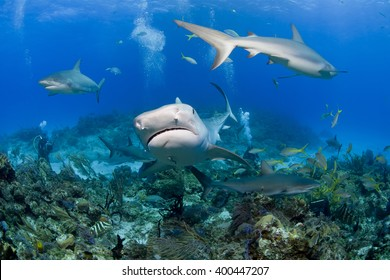 Tiger shark from the front with caribbean reef sharks in clear blue water and videographer / photographer in the background.