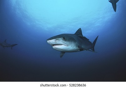 Tiger Shark (galelcerdo cuvieri), underwater view