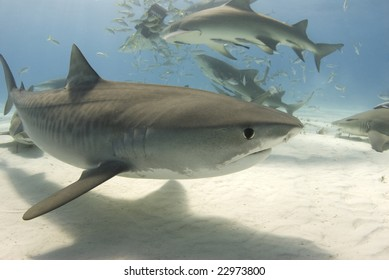A tiger shark (Galeocerdo curvier) swims by as lemon sharks eat behind her