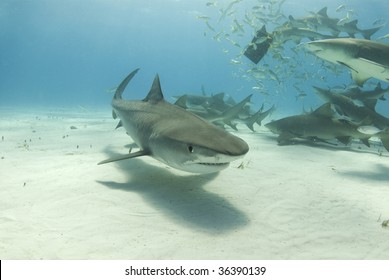 A tiger shark (Galeocerdo curvier) swims toward the camera as lemon sharks (negaprion brevirostris) eat behind her.