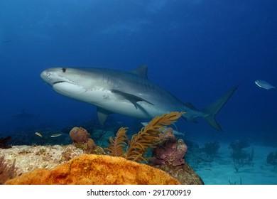 Tiger Shark (Galeocerdo cuvier) at Tiger Beach, Bahamas