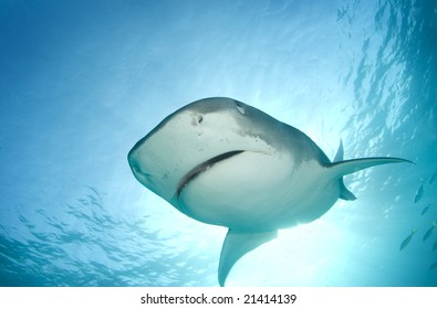 A Tiger Shark (Galeocerdo cuvier) begins to cover her eyes as she descends towards the camera from above in line with the sun shining through the surface of the ocean.