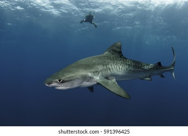 Tiger Shark, Galeocerdo cuvier, in Open Blue Water with Freediver.
