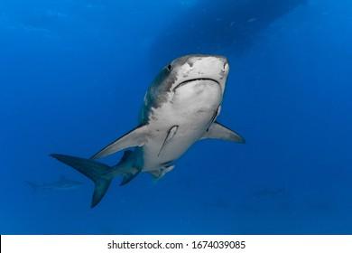 Tiger Shark (Galeocerdo cuvier) swimming into the blue