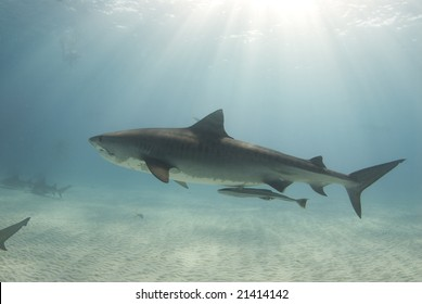A tiger shark (Galeocerdo cuvier) swims through the ocean cast in rays from the sun as it cuts through the water