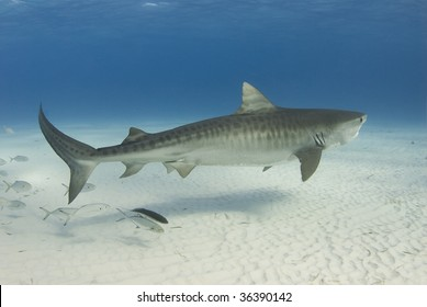 A Tiger Shark (Galeocerdo cuvier) swims along the shallow water as a school of fish follows