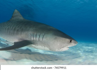 Tiger Shark (Galeocerdo cuvier) swims through the water in the Bahamas.