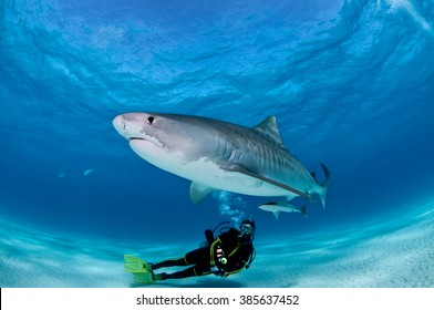 A tiger shark glides over the top of a SCUBA diver, flashing his metallic stripes.