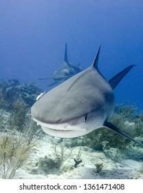 A Tiger Shark and Great Hammerhead in the Bahamas