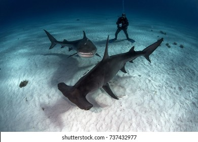 Tiger shark, Great hammerhead and diver