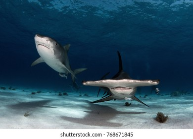 Tiger Shark and Great Hammerhead swimming together