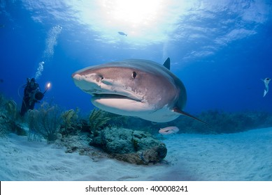 Tiger shark head shot in clear blue water with scuba diver / videographer / photographer and the sun in the background.