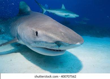 Tiger shark head shot in clear blue water with caribbean reef shark in the background.