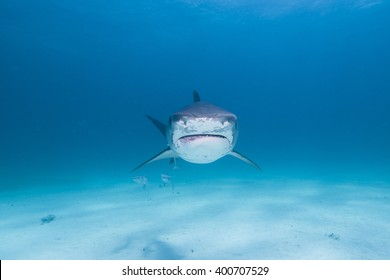 Tiger shark head shot from the front in clear blue water approaching you.