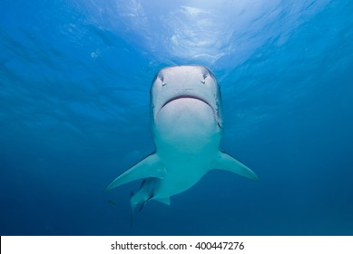 Tiger shark head-on from below close to the surface in clear blue water and the sun in the background.
