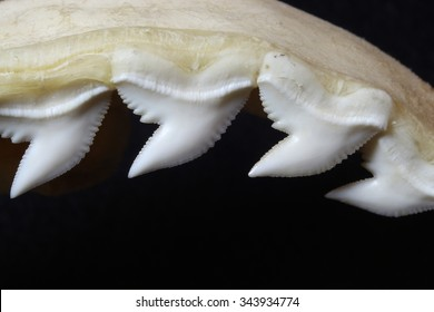 Tiger shark jaw showing teeth