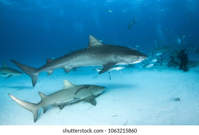 Tiger Shark and a Lemon Shark at Tigerbeach, Bahamas