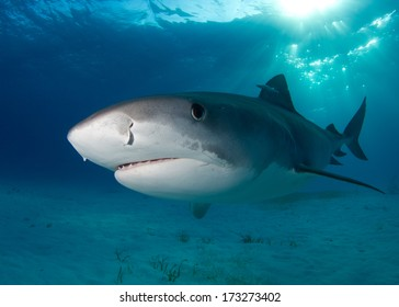 Tiger Shark with Light in the Background
