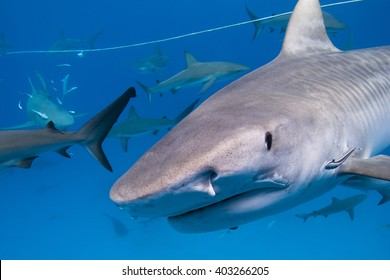 Tiger shark with lots of caribbean reef sharks close to the surface.