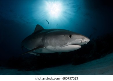 Tiger Shark on Tiger Beach of Bahamas