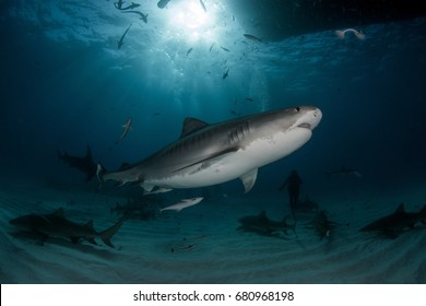 Tiger Shark on Tiger Beach of Bahamas