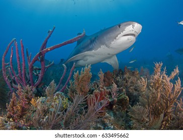 Tiger Shark on the Reef