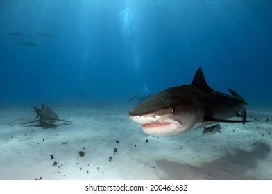 Shark Open Mouth Images, Stock Photos & Vectors | Shutterstock