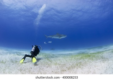 Tiger shark with other sharks and scuba diver in clear blue water.