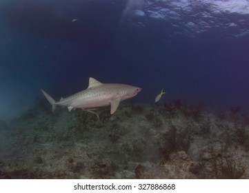 Tiger Shark Over a Reef