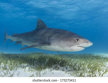 Tiger Shark Over Sea Grass