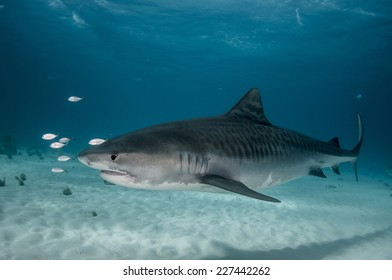 Tiger Shark Portrait