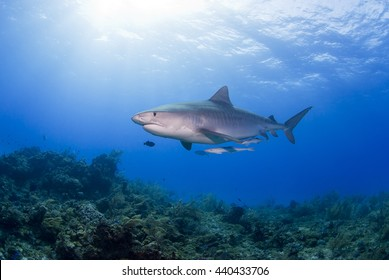 Tiger Shark with Remora in clear blue water with sun in the background.