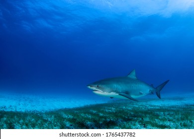Tiger Shark Roaming the Seabed. Tiger Beach, Bahamas