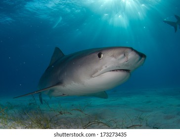Tiger Shark in Shallow Water