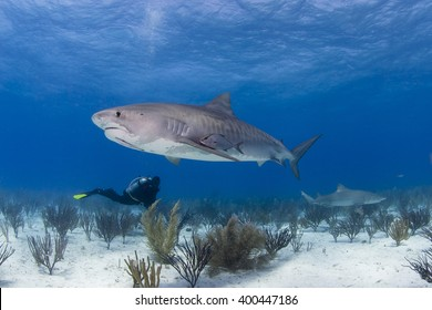 Tiger shark from the side in clear blue water with scuba diver in the background.