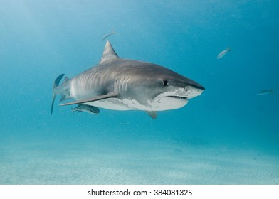 A tiger shark swimming alone in the shallows of a clear, blue ocean.