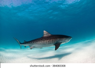 A tiger shark swimming calmly with a remora fish in clear water