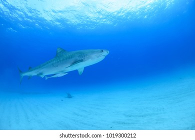 Tiger Shark Swimming Calmly though Open Blue Water in Bahamas