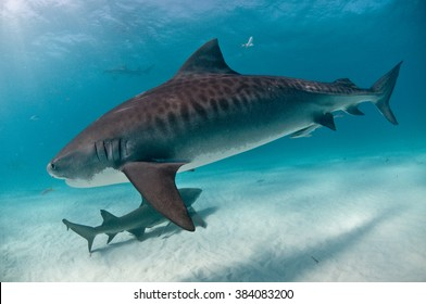 A tiger shark swimming up close with clear markings