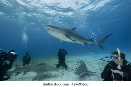 Tiger shark swimming over a group of scuba divers on a sandy bottom in the Bahamas.