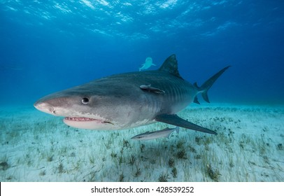 Tiger shark swimming in shallow water during a shark dive in the Bahamas.