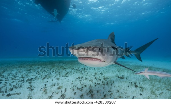 Tiger Shark Swimming Shallow Water During Stock Photo (Edit