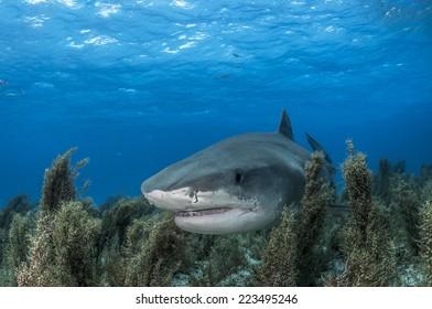 Tiger Shark Swimming Through Sea Grass