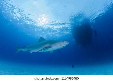 Tiger Shark Swimming underewater in Atlantic Ocean Bahamas