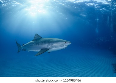 Tiger Shark Swimming underewater in Atlantic Ocean Bahamas