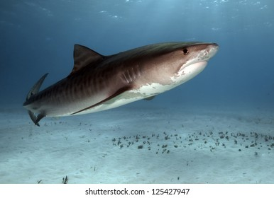 A tiger shark swimming in the warm waters of the Bahamas