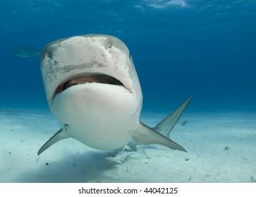 Tiger Shark swims by at Tiger Beach in the Bahamas.