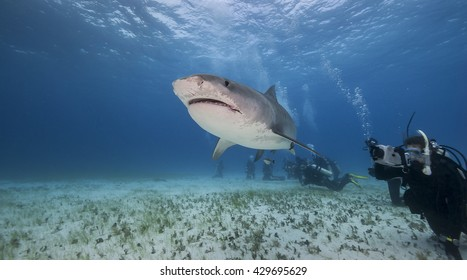 Tiger shark swims past a diver during a shark dive in the Bahamas.