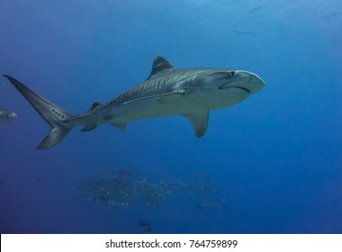 Tiger shark  Tahiti