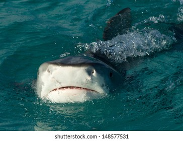 Tiger Sharks in the Bahamas